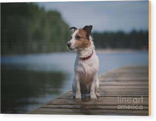 Jack Russell Terrier Dog Playing In Wood Print