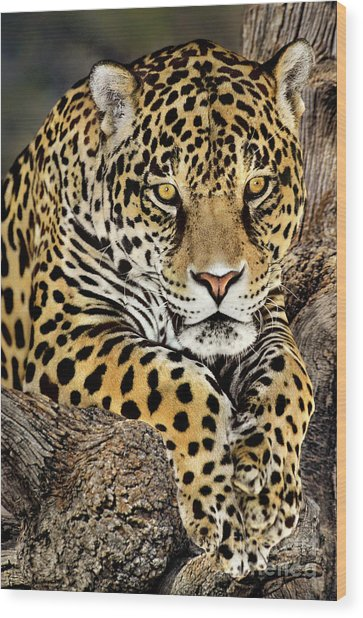 Jaguar Portrait Wildlife Rescue Wood Print