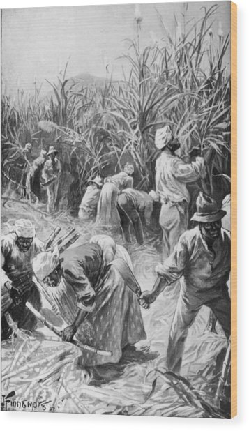 Jamaican Cane Cutters Wood Print by Hulton Archive