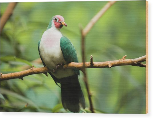 Jambu Fruit Dove Ptilinopus Jambu Wood Print by By Ken Ilio