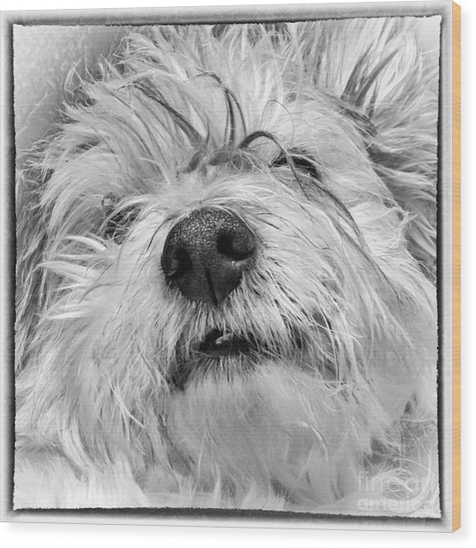 Coton De Tulear Dog Wood Print