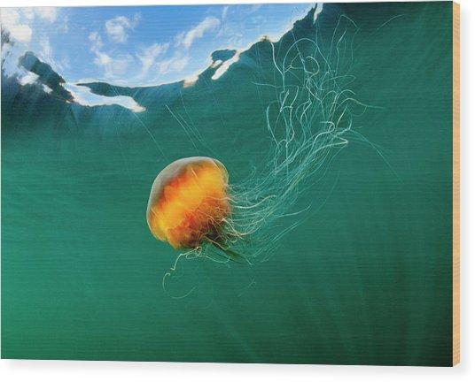 Jellyfish, Alaska Wood Print by Paul Souders
