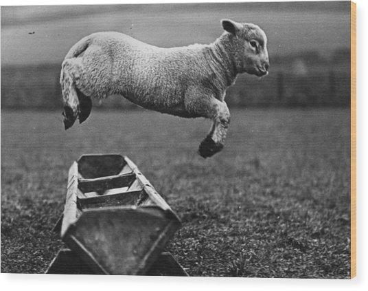 Jumping Lamb Wood Print by Fox Photos