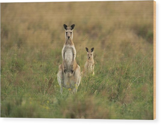Kangaroos In The Countryside Wood Print