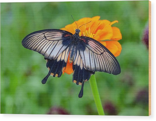 Kite Swallowtail  Wood Print