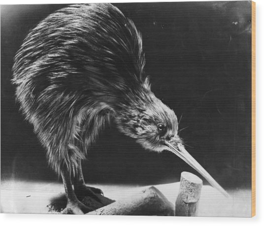 Kiwi Wood Print by Hulton Archive