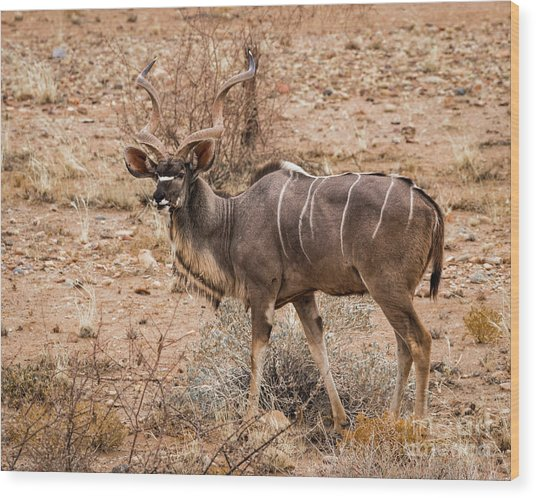 Kudu In The Kalahari Desert, Namibia Wood Print