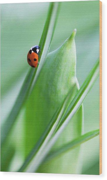 Ladybug Wood Print by Andrew Dernie