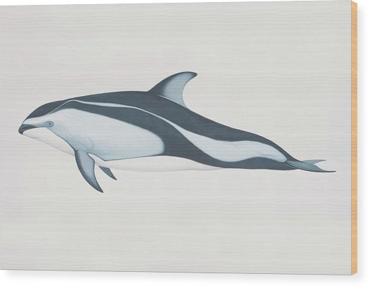 Lagenorhynchus Obliquidens, Pacific Wood Print by Martin Camm