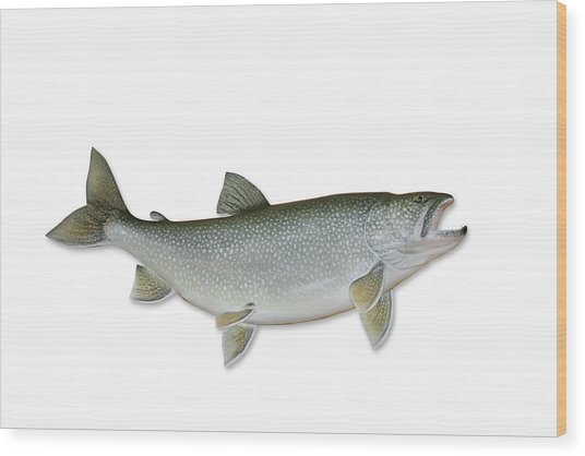 Lake Trout With Clipping Path Wood Print by Georgepeters