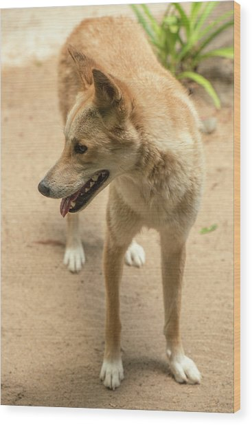 Large Australian Dingo Outside Wood Print