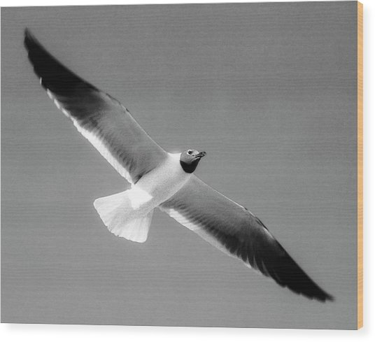 Laughing Seagull Wood Print