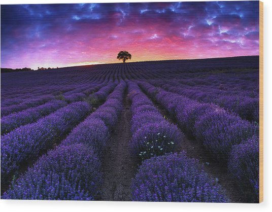 Lavender Dreams Wood Print