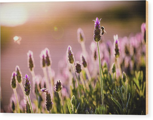 Lavender Sunrise Wood Print