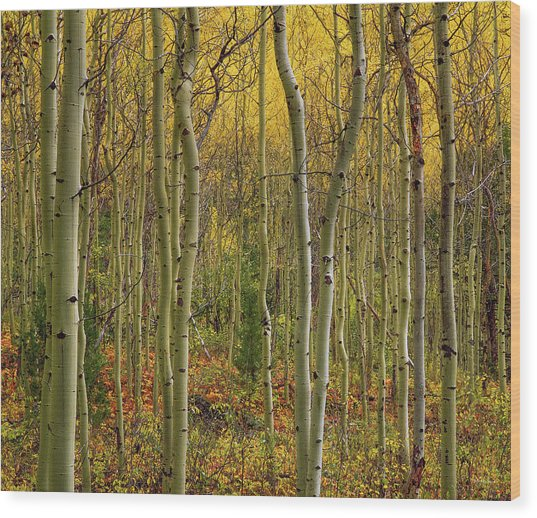 Lemhi Aspens Wood Print by Leland D Howard