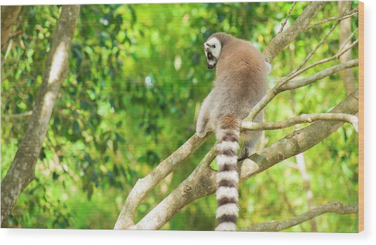 Lemur By Itself In A Tree During The Day. Wood Print