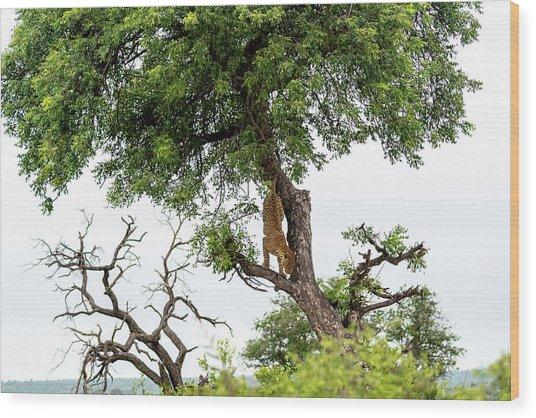 Leopard Descending A Tree Wood Print