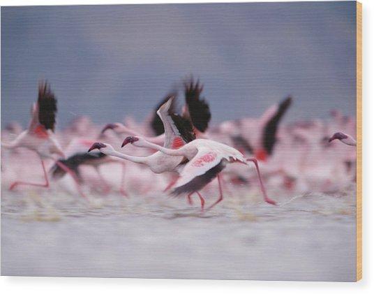 Lesser Flamingo Phoenicopterus Minor Wood Print by Tim Fitzharris/ Minden Pictures