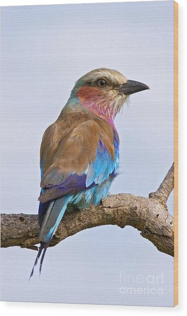 Lilacbreasted Roller Coracias Caudata Wood Print