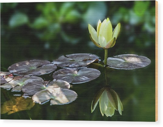 Lily In The Pond Wood Print