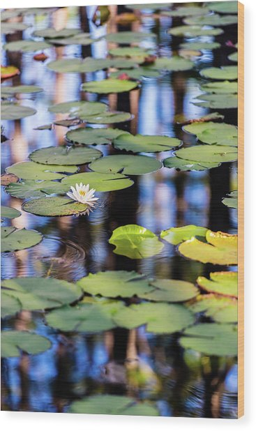 Lilypad Cypress Pond Wood Print