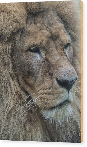 Wood Print featuring the photograph Lion by Anjo Ten Kate
