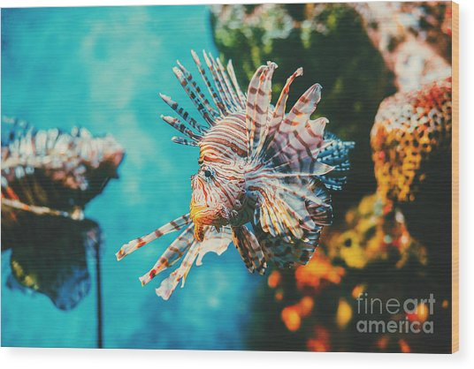 Lion Fish Hunting Among Coral Reefs Wood Print