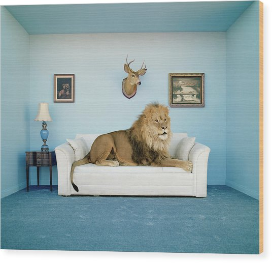 Lion Lying On Couch, Side View Wood Print