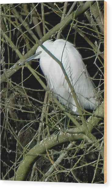 Little Egret Resting Wood Print