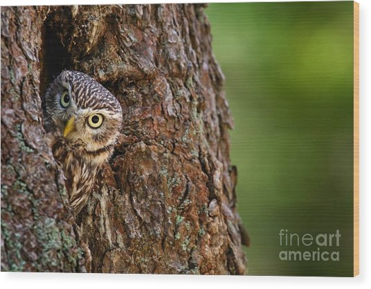 Little Owl, Athene Noctua, In The Wood Print