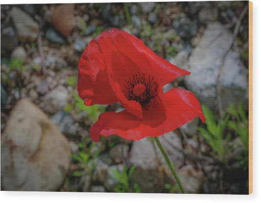 Lone Red Flower Wood Print