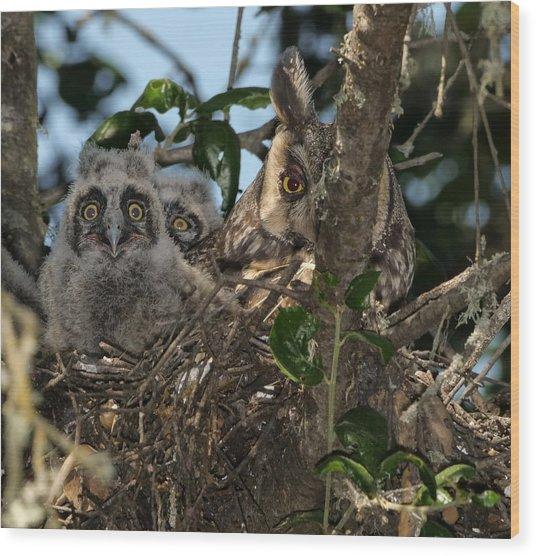 Long-eared Owl And Owlets Wood Print