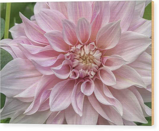 Lovely Dahlia Wood Print