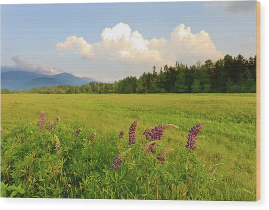 Lupine Lupinus In The White Mountains Wood Print