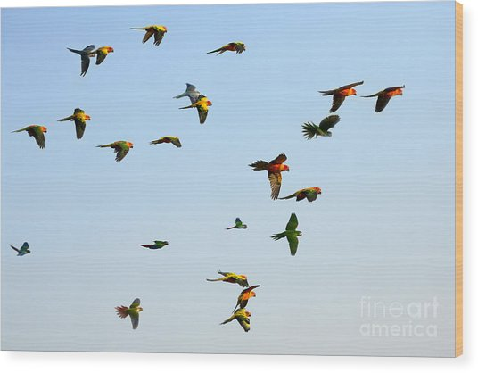 Macaw And Sun Conure Flock Of Flying In Wood Print