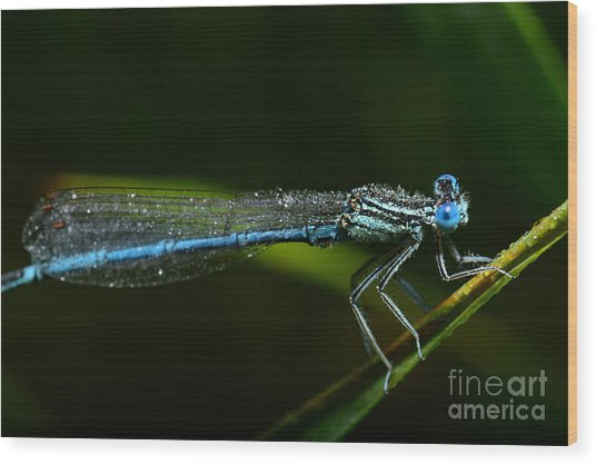 Macro Photography Dragonfly Wood Print