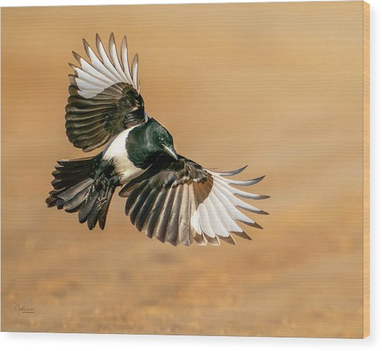Magpie Beauty Wood Print