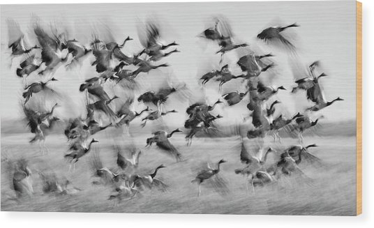 Magpie Geese Take Off Australia Wood Print