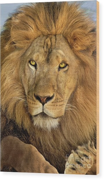 Male African Lion Portrait Wildlife Rescue Wood Print