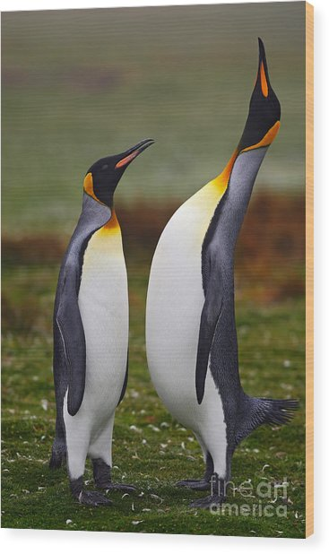 Male And Female Of King Penguin, Couple Wood Print