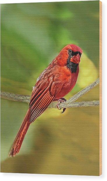 Male Cardinal Headshot  Wood Print