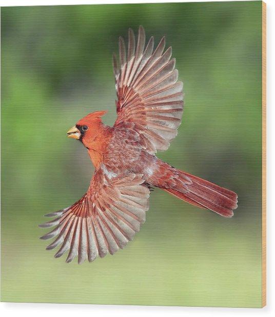 Male Cardinal In Flight Wood Print