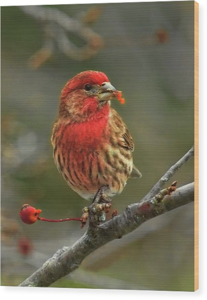 Male House Finch With Crabapple Wood Print