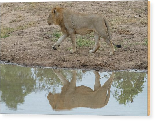 Male Lion And His Reflection Wood Print