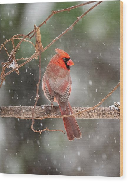 Male Red Cardinal Snowstorm Wood Print