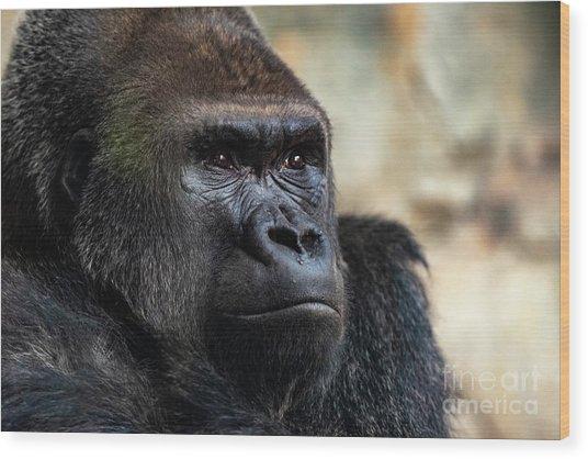 Male Western Gorilla Looking Around, Gorilla Gorilla Gorilla Wood Print