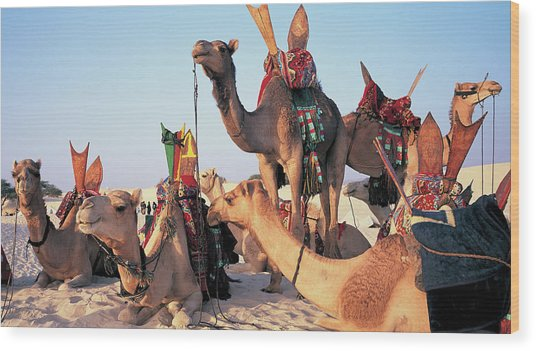Mali, Timbuktu, Sahara Desert, Camels Wood Print by Peter Adams