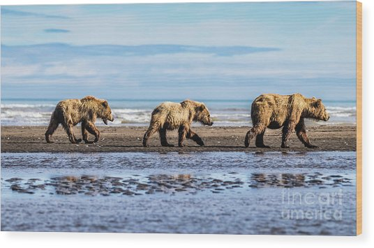 Mama Bear And Her Two Cubs On The Beach. Wood Print