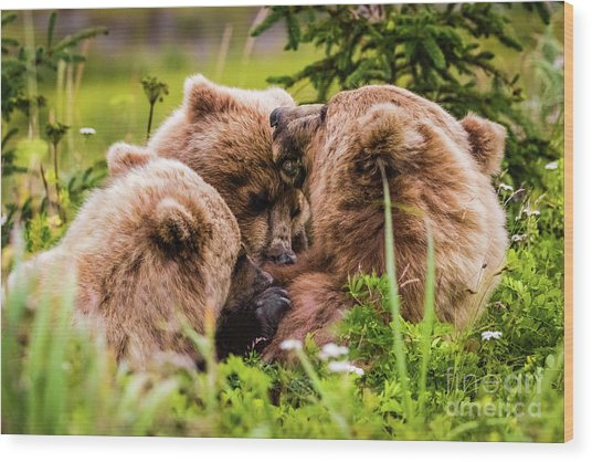 Mama Bear Nursing Her Two Cubs, Lake Clark National Park, Alaska Wood Print