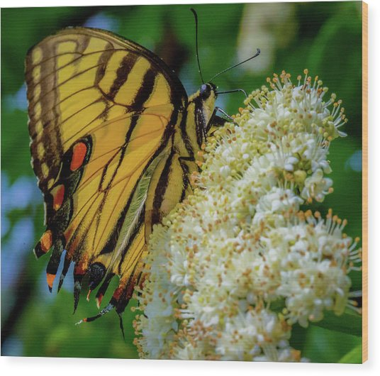 Manassas Butterfly Wood Print